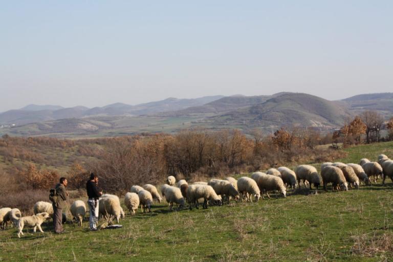 ДФЗ, овце, Agrozona.bg