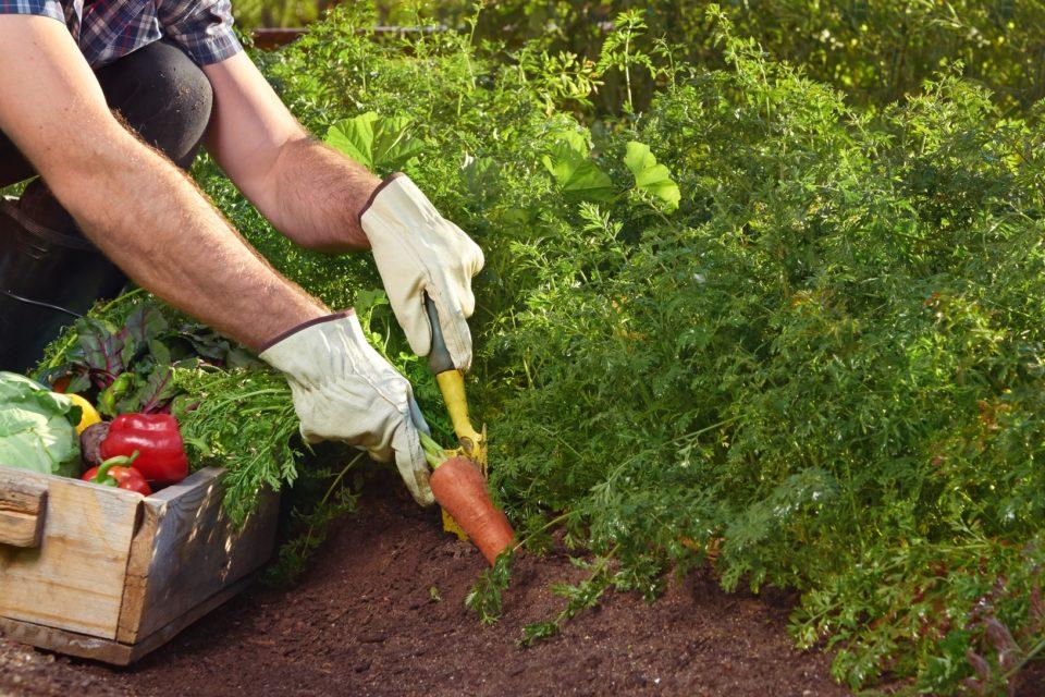 Как да осигурите две реколти за един сезон