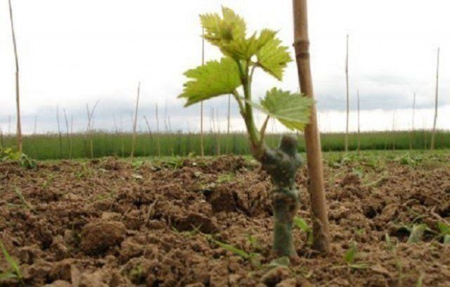 Закон за виното и спиртните напитки, класифицирани сортове, Agrozona.bg