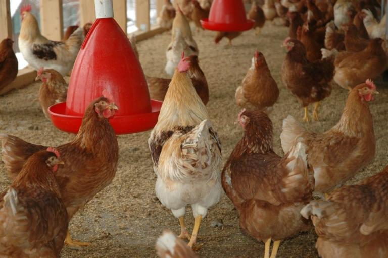 инфлуенца по птиците, Agrozona.bg