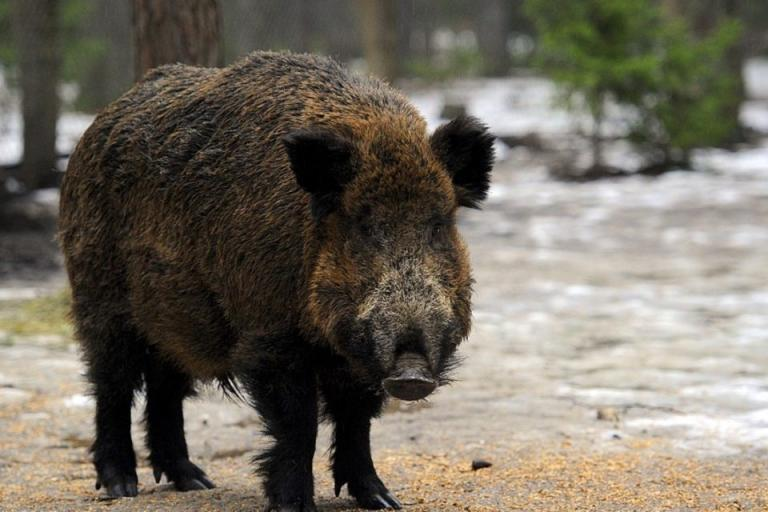 групов лов, дива свиня, Agrozona.bg
