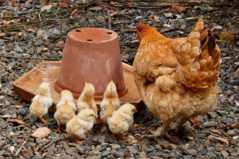 кокошки носачки, проблеми, Agrozona.bg