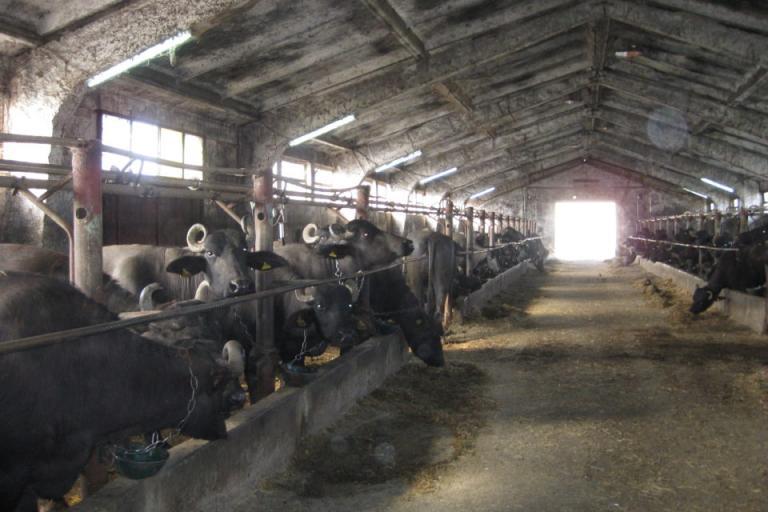 Биволи, кози, Agrozona.bg