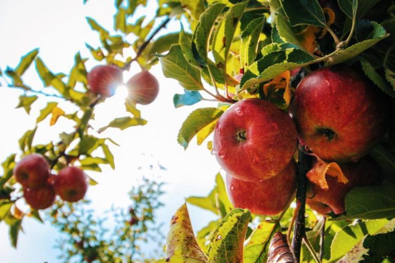 ябълки, Agrozona.bg