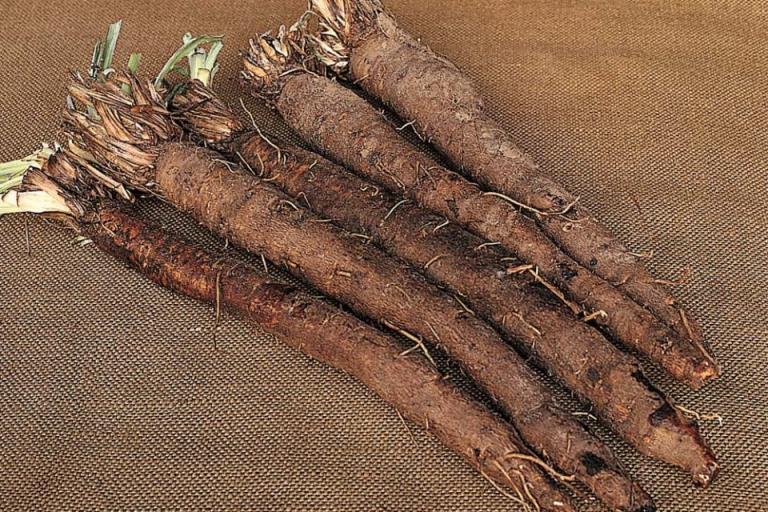 отглеждане, черен корен, Agrozona.bg