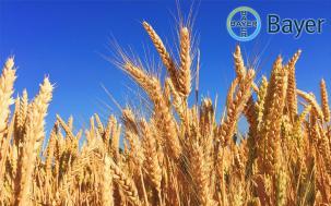 Фитосанитарна оценка на посевите от пшеница