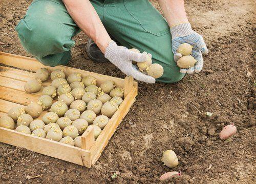 картофи, Agrozona.bg