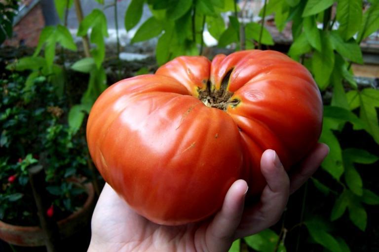 ваксина, домати, Agrozona.bg