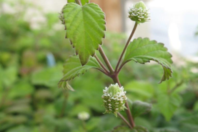 захар, растения, Agrozona.bg