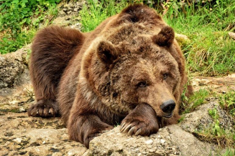 кафява мечка, мечки, Agrozona.bg