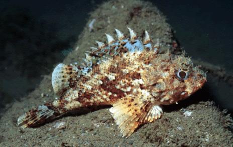 морски скорпион, туристи, Agrozona.bg