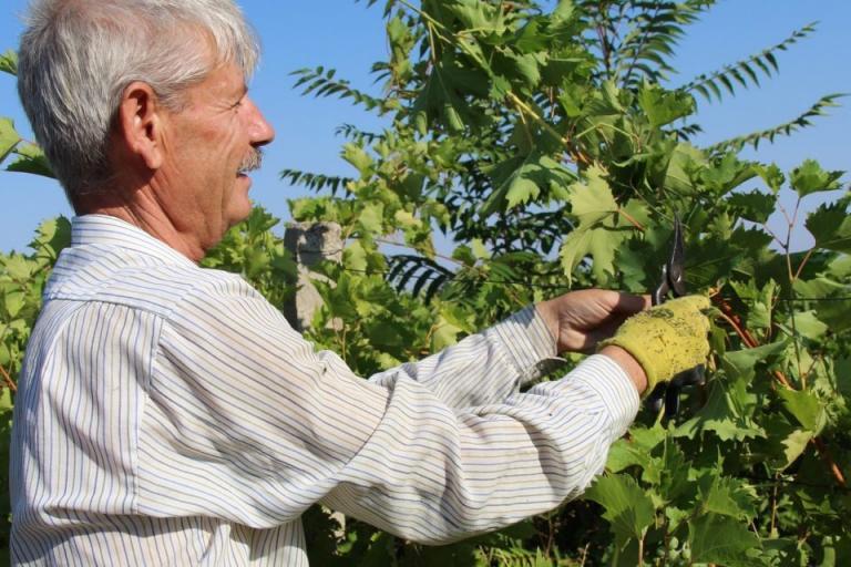 грозде, зелени резитби, Agrozona.bg