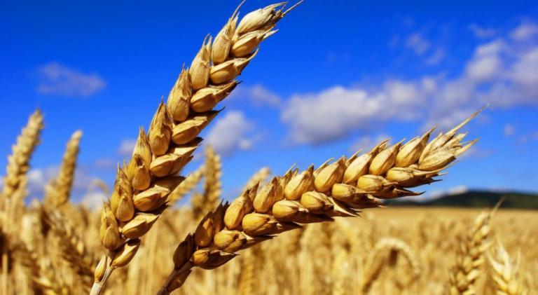Matif, пшеница, Agrozona.bg
