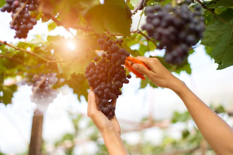вино, десертно грозде, Agrozona.bg
