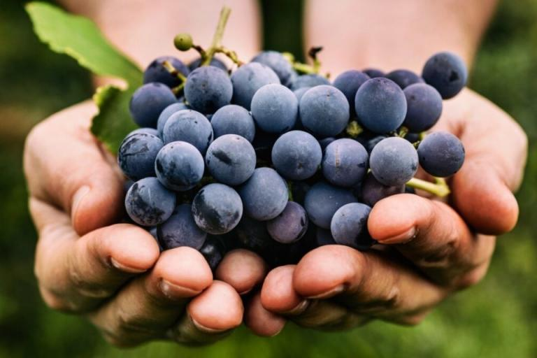 грозде, лозарство, Agrozona.bg