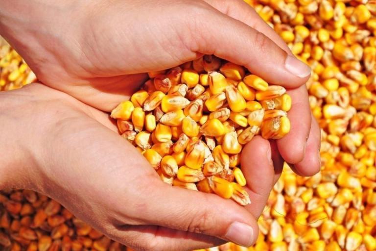 рапица, царевица, Agrozona.bg